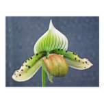 Ladyslipper orchid post card