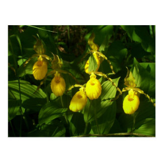 LadySlippers 1 Postales
