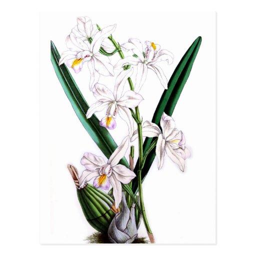 Laelia Albida, var Rosea de la orquídea Postal