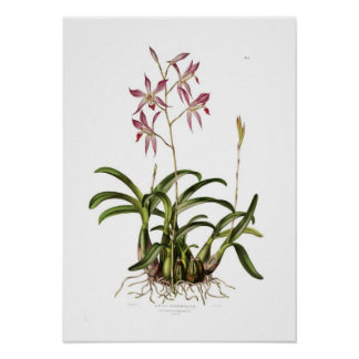 Laelia autumnalis by Augusta Innes Withers. Print