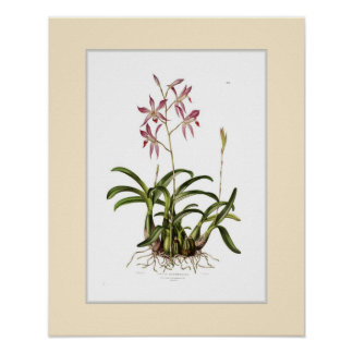 Laelia autumnalis,Custom border Poster