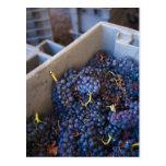 Lagar de Bodega Marques de Riscal, uvas Postales
