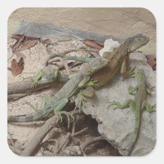 Lagartos de la iguana pegatina cuadrada
