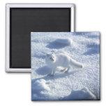 Lagopus del Alopex del zorro ártico) un zorro árti Imán De Nevera