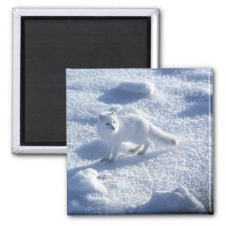 Lagopus del Alopex del zorro ártico) un zorro árti Imán Cuadrado