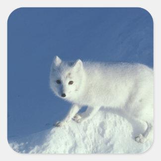 Lagopus del Alopex del zorro ártico un zorro árti Pegatinas Cuadradases Personalizadas