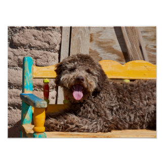 Lagotto Romagnolo Lying On A Wooden Bench Posters
