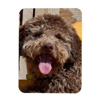 Lagotto Romagnolo Lying On A Wooden Bench Magnets