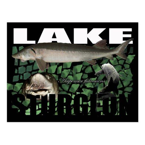 Lake Sturgeon-Collage-Postcard Postcard