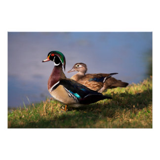 Lakeside, Wood Duck Poster