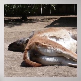 Lama - Santana Zoo - CA Poster