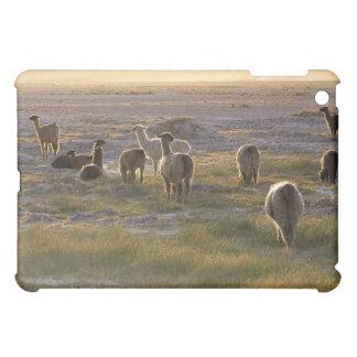 Lamas en la puesta del sol