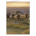Lamas en la puesta del sol felicitacion