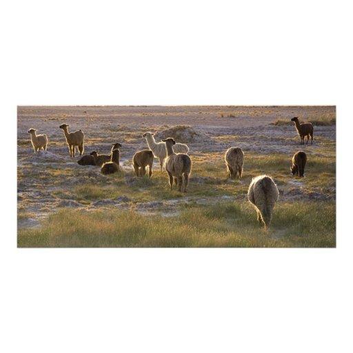 Lamas en la puesta del sol plantillas de lonas