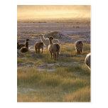 Lamas en la puesta del sol tarjeta postal