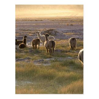Lamas en la puesta del sol postal