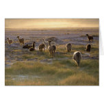Lamas en la puesta del sol tarjetón