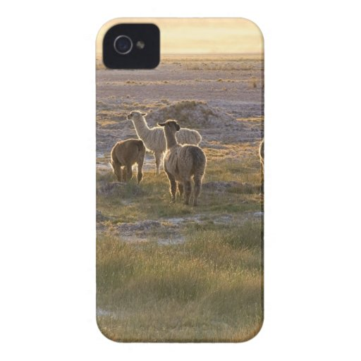 Lamas in the Sunset iPhone 4 Cases