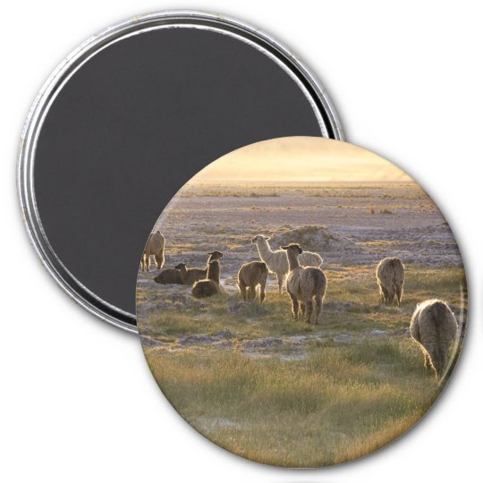 Lamas in the Sunset Magnet