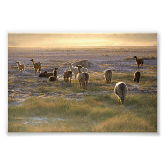 Lamas in the Sunset Photo Print