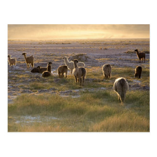 Lamas in the Sunset Postcard