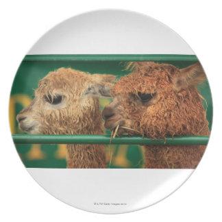 lamas muy lindos ambos que miran algo apagado plato de cena