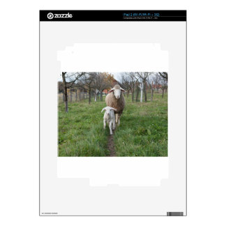Lamb and sheep iPad 2 skin