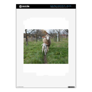 Lamb and sheep iPad 3 skin