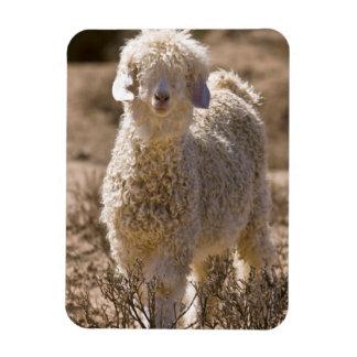 Lamb, Baviaans River Valley, Bedford Rectangular Photo Magnet