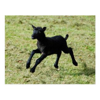 Lamb from Gotland sheep postcard