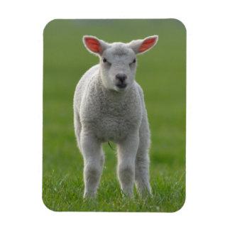 lamb magnet