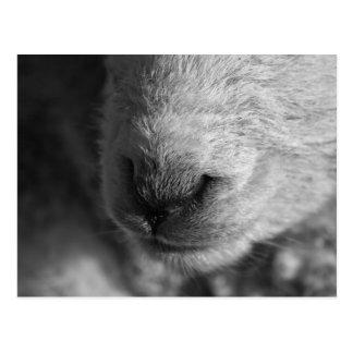 Lamb Nose Postcard