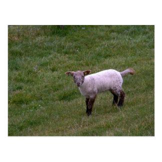 Lamb Postcards