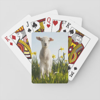 Lamb walking in field of flowers playing cards