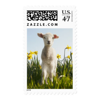 Lamb walking in field of flowers postage