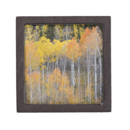 Lambert Hollow, aspen trees 3 Jewelry Box