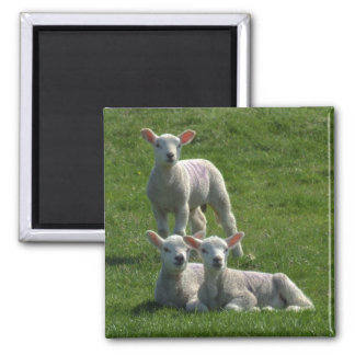 Lambs Magnet