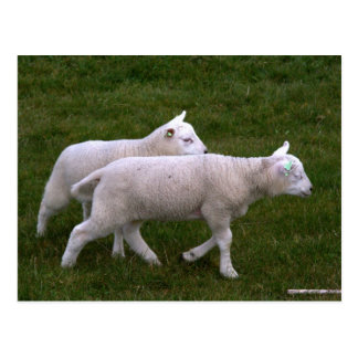 Lambs Post Cards