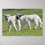 Lambs Print