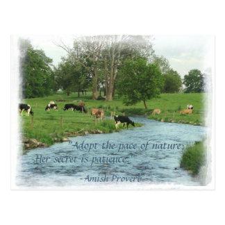 Lancaster Amish Postcard! Amish Proverb! COWS Postcard
