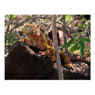 Land Iguana, North Seymour Island, Galapagos Postcard