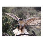 Landing Ferruginous Hawk Postcard