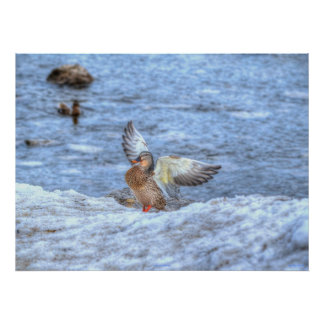 Landing Mallard Duck 3 Wildlife Photo Print