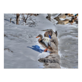 Landing Mallard Duck 4 Wildlife Photo Print