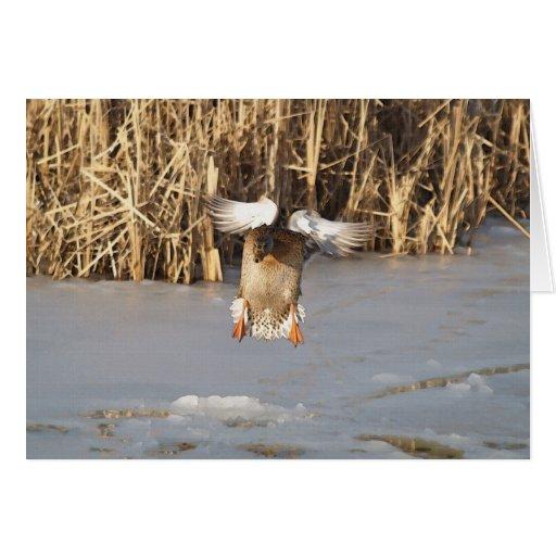 Landing Mallard Duck Wildlife Art Greeting-Card