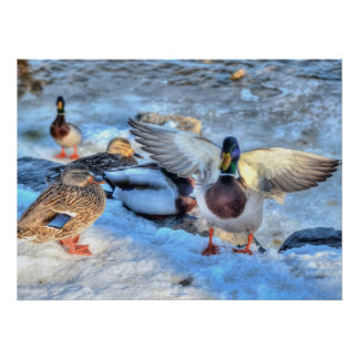 Landing Mallard Duck Wildlife Photo Print