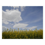 landscape of canola field ready to harvest print
