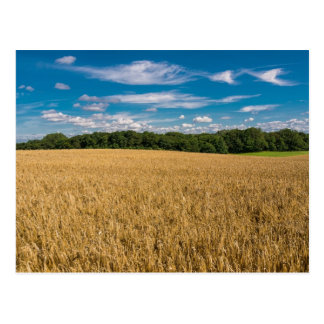 Landscape with grainfield and blue sky postcard