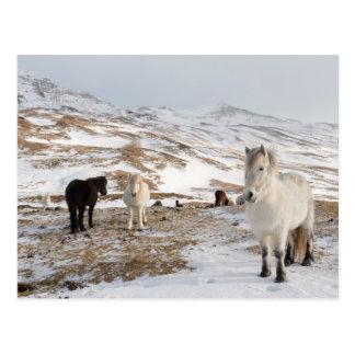 Landscape with Icelandic Horses Postcard