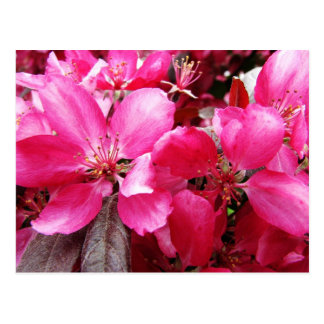 Language of Flowers Pink Apple Blossom Preference Postcard